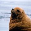 Steller Sea Lion Close Up