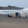 Volunteers on beach running after entangled sea lion