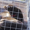 Sea Lion in disentangle cage with with gaping wound around neck