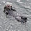 Sea Otter laying on back in water