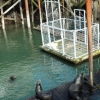 Capture cage and sea lions on dock